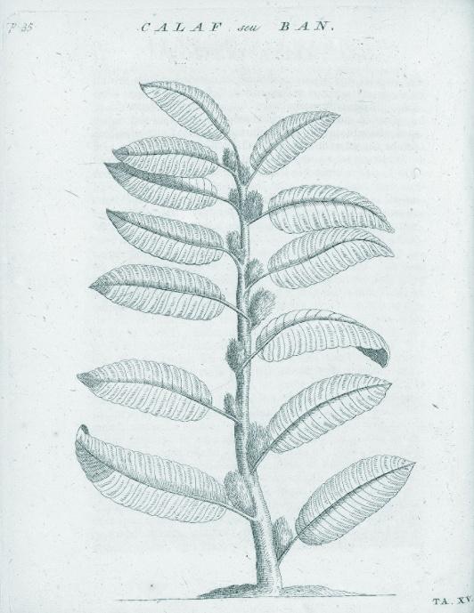 Kaffeepflanze.jpg